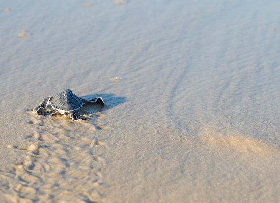 Turtle Season in Melbourne Beach