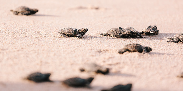 Baby turtles in the sand