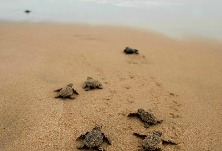 spring attractions in Melbourne Beach – sea turtles hatching